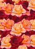 Bakgrund från spridd rosor på måfå, gula och röda Fotografering för Bildbyråer