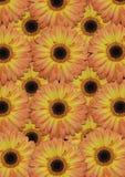 Bakgrund från stor orange gerber Royaltyfri Foto