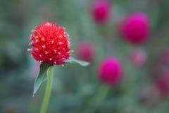 Bakgrund för jordgubbeGomphrenablomma Royaltyfria Bilder