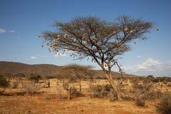 bakgrund gloden savannatreen för liggande en Royaltyfri Foto