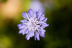 Bakgrund högkvalitativa 50,6 Megapixels för makro för lös blomma för Knautia arvensis arkivbilder