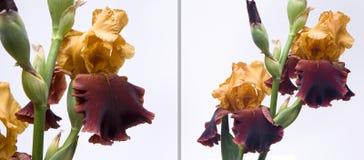 bakgrund irises white Royaltyfria Bilder