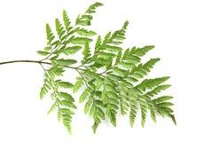 bakgrund isolerad leaftreewhite Arkivfoton