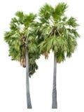 bakgrund isolerad palmträdwhite Arkivbild