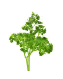 bakgrund isolerad parsleywhite arkivfoton