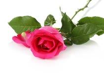 bakgrund isolerad pinkrosewhite Royaltyfria Foton