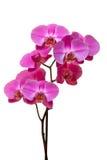 bakgrund isolerad purpur white för orchid Arkivbilder