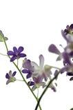 bakgrund isolerad purpur white för orchid Royaltyfri Foto