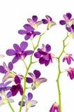 bakgrund isolerad purpur white för orchid Fotografering för Bildbyråer
