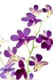 bakgrund isolerad purpur white för orchid Arkivfoton