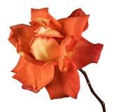bakgrund isolerad rosewhite royaltyfri foto