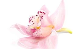 bakgrund isolerad rosig white för orchid Fotografering för Bildbyråer