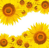 bakgrund isolerad solroswhite Royaltyfri Foto