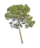 bakgrund isolerad treewhite Royaltyfri Foto