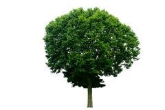 bakgrund isolerad treewhite Fotografering för Bildbyråer