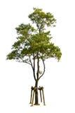 bakgrund isolerad treewhite Royaltyfri Bild