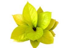 bakgrund isolerad vit yellow för leaf arkivbild