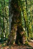 Bakgrund - kall tempererad rainforest arkivbilder