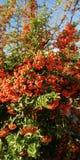 Bakgrund Ljusa röda bär mot den blåa himlen och den gröna lövverket royaltyfria foton