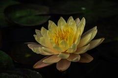 Bakgrund Lotus Arkivbilder