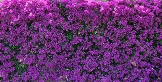Bakgrund: magentafärgad bougainvillea (pappers- blomma) Royaltyfria Foton