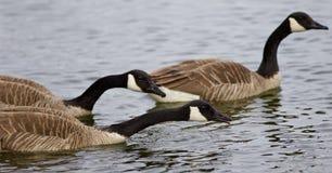 Bakgrund med att simma för tre Kanada gäss Royaltyfria Foton