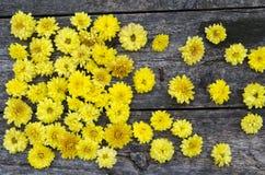 Bakgrund med blommor av gula krysantemum Arkivbilder
