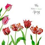 Bakgrund med buketten av tulips2-02 Fotografering för Bildbyråer