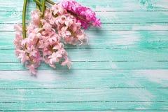 Bakgrund med den nya rosa färgblomman på turkos målade trä royaltyfri fotografi