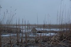 Bakgrund med den torra vintervassen på sjön Royaltyfria Bilder