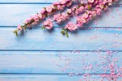 Bakgrund med eleganta rosa färger blommar på blåa träplankor Royaltyfri Fotografi