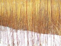 Bakgrund med guld- örter i motsats till snön arkivfoton