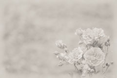 Bakgrund med ljusa rosor arkivfoton
