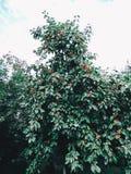 Bakgrund med mogna röda äpplen på ett träd apples crate organic Arbeta i trädgården och skörda begrepp royaltyfria bilder