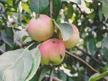 Bakgrund med mogna röda äpplen på ett träd apples crate organic Arbeta i trädgården och skörda begrepp arkivbild