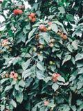 Bakgrund med mogna röda äpplen på ett träd apples crate organic Arbeta i trädgården och skörda begrepp arkivfoton