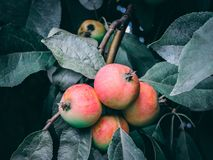 Bakgrund med mogna röda äpplen på ett träd apples crate organic Arbeta i trädgården och skörda begrepp royaltyfri bild