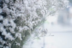 Bakgrund med mycket små vita blommor (gypsophilapaniculataen) Royaltyfria Foton