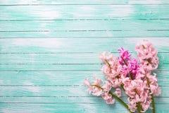 Bakgrund med nya rosa färgblommahyacinter på turkosmålarfärg arkivbilder