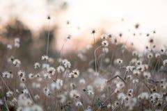 Bakgrund med ogräs och magi av ljus på skymning i hösten Solnedgång royaltyfria foton