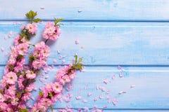 Bakgrund med rosa sakura blommar på blåa träplankor royaltyfria bilder
