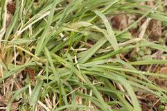 Bakgrund med vått gräs för gräsplan med daggdroppar arkivfoto