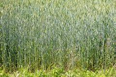 Bakgrund 50,6 Megapixels 6480 för makro för vetefält abstrakt med 4320 PIXEL royaltyfria foton