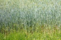 Bakgrund 50,6 Megapixels 6480 för makro för vetefält abstrakt med 4320 PIXEL arkivfoto