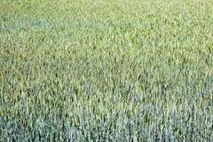 Bakgrund 50,6 Megapixels 6480 för makro för vetefält abstrakt med 4320 PIXEL royaltyfri fotografi