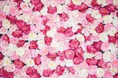 Bakgrund mycket av vita och rosa pioner Arkivfoto