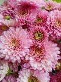 Bakgrund Rosa Chrysanthemum Nedgångblommor Närbild blomma chrysanthemum royaltyfria foton
