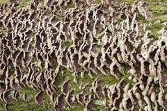 Bakgrund Rytm av konsol-svampen på ett träd 2 Arkivbild