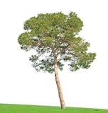 bakgrund sörjer treewhite Royaltyfria Bilder