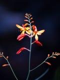 bakgrund slår ut röd yellow för mörka blommor Arkivbilder